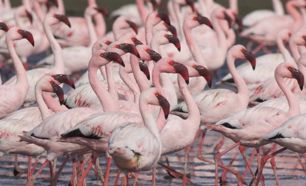 Flamingo, Lesser - 20150704