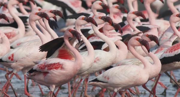 Flamingo, Lesser - 20150704a