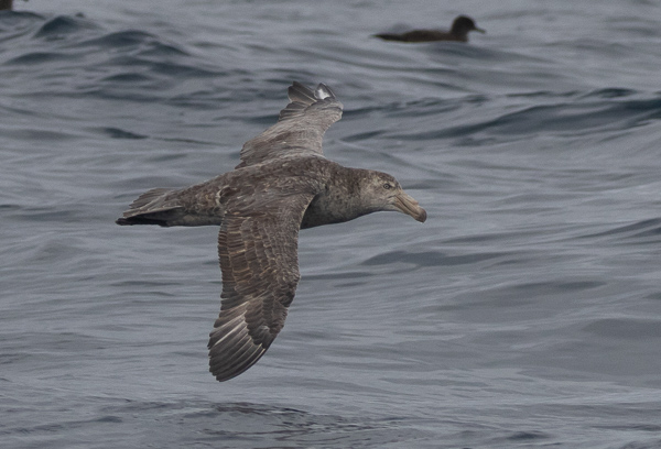 Northern Giant Petrel (4)