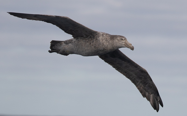Northern Giant Petrel (5)