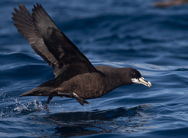 White-chinned Petrel (2)