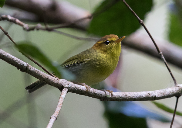 Warbler, Yellow-throated Woodland - 20180922