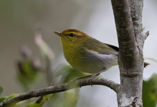 Warbler, Yellow-throated Woodland - 20181006