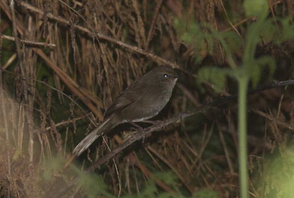 Barrat's Warbler