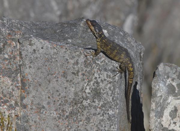 Cape Crag Lizard