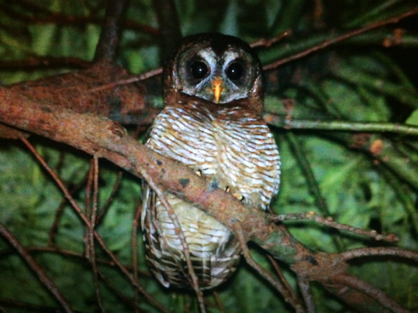 African Wood-owl (pic courtesy of Frans Joubert)