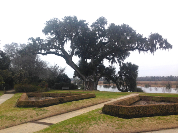 Huge Oak tree, Spanish Moss and evidence of Versailles