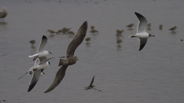 Squadron of gulls chasing a Dowitcher