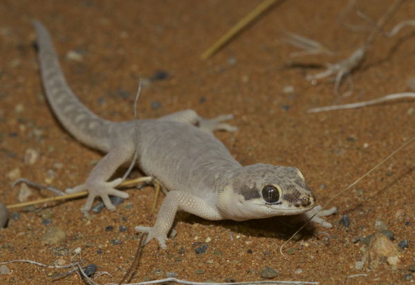 Speckled Thick-toed Gecko