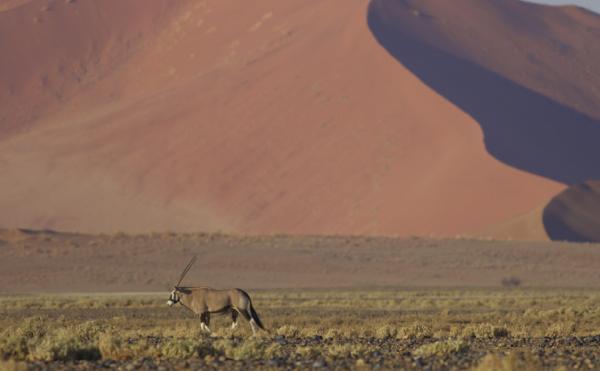 A gemsbok on the way to Sossusvlei