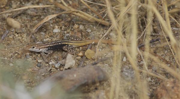 Bushveld Lizard