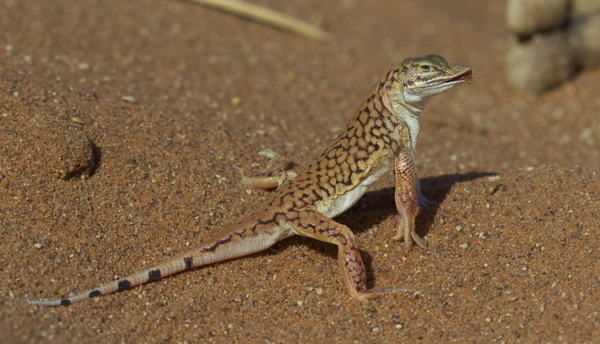 Shovel-snouted Lizard