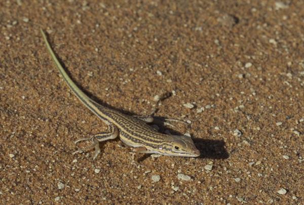 Spotted Desert Lizard