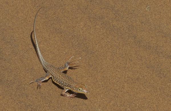 Wedge-snouted Desert Lizard - 20150706