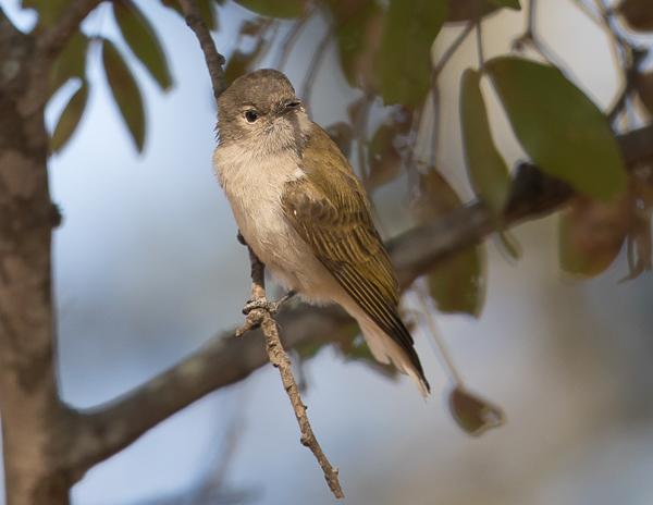 Green-backed Honeybird