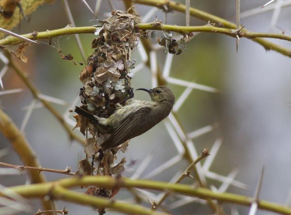 Miombo Double-collared Sunbird