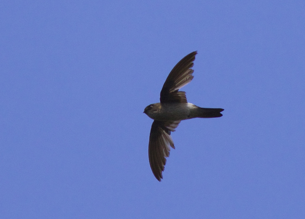 Mascarene Swiftlet