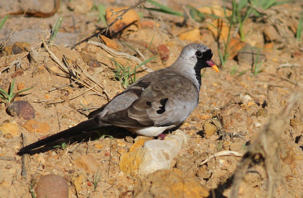 Namaqua Dove - pic courtesy of Adam Buckham