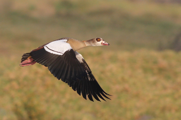 Egyptian Goose - pic courtesy of Adam Buckham