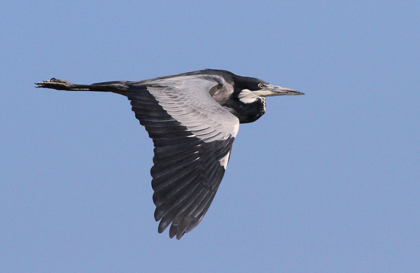 Black-headed Heron - pic courtesy of Adam Buckham