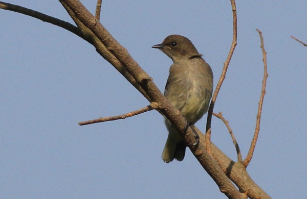 Brown-backed Honeybird - pic courtesy of Adam Buckham