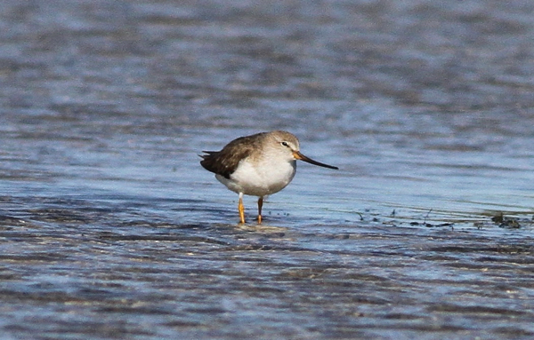 Terek Sandpiper - pic courtesy of Adam Buckham