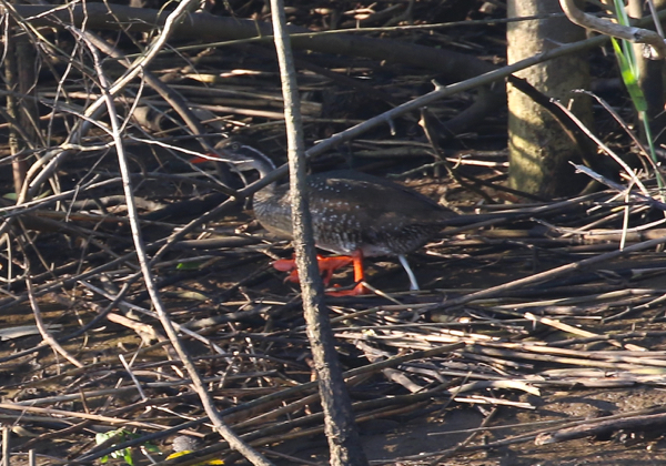 African Finfoot (very dodgy pic)