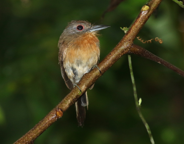Grey-cheeked Nunlet