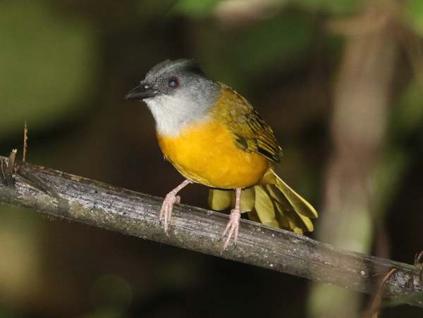 Grey-headed Tanager