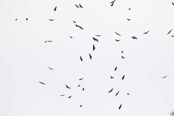 Migrating Turkey Vultures