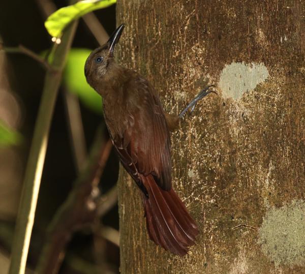 Plain-brown Woodpecker