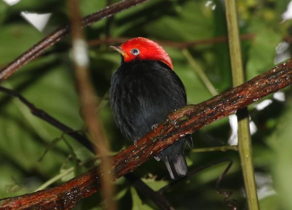 Red-headed Manakin