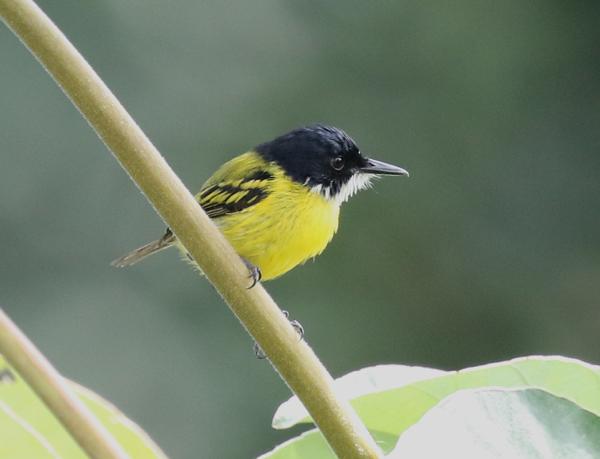 Black-headed Today-flycatcher