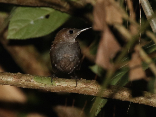Scaly-breasted Wren