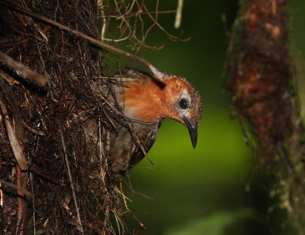 Song Wren on its nest