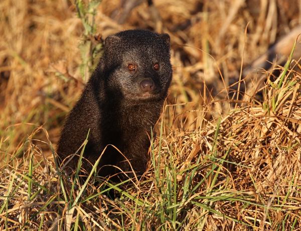 Water Mongoose