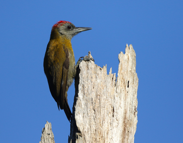 Olive Woodpecker