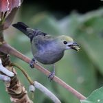 Tanager, Palm - 20161002a