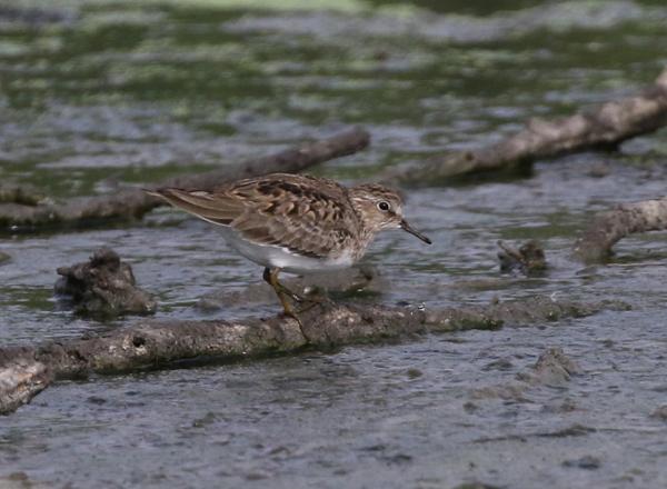 Temminck's Stint in breeding plumage