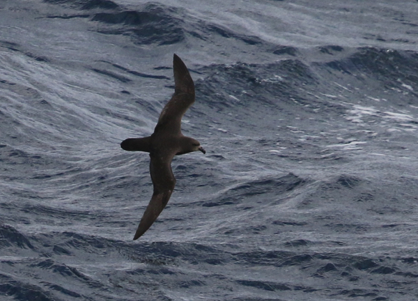 Petrel, Great-winged - 20170425