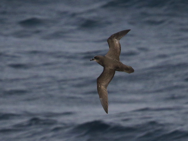 Petrel, Great-winged - 20170425a