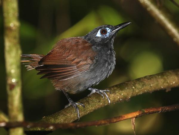 Antbird, Chestnut-backed - 20161004