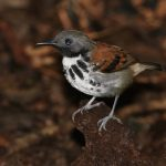 Antbird, Spotted - 20161002c