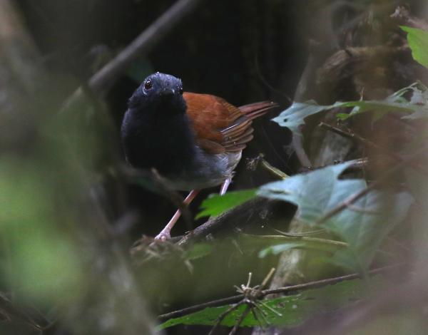 Antbird, White-bellied - 20161011a