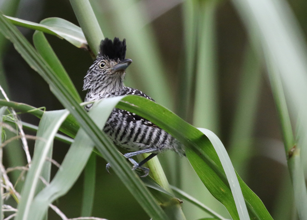 Antshrike, Barred - 20161001a