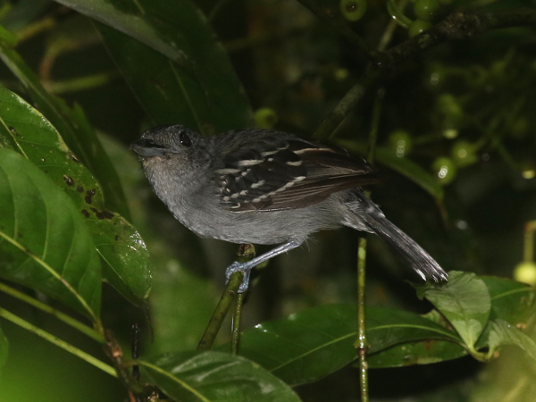 Antshrike, Black-crowned - 20161001