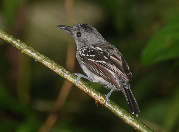 Antshrike, Black-crowned - 20161001c