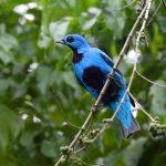 Cotinga, Blue - 20161011c