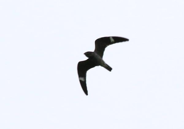 Nighthawk, Common - 20161012