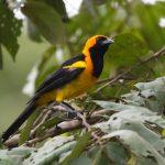 Oriole, Orange-crowned - 20161013b